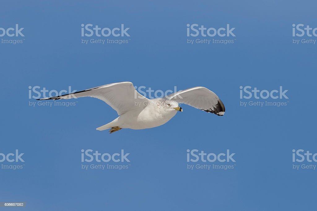 Ring-billed Gull in flight - Florida stock photo