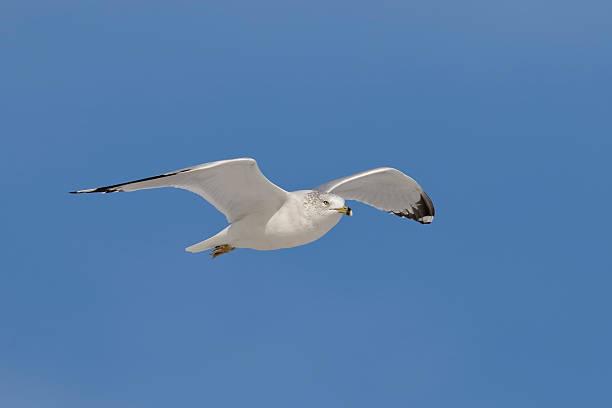 Ring-billed Gull in flight - Florida stock photo