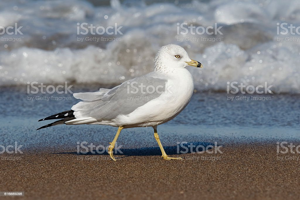 Ring-billed Gull in Flight - Ontario, Canada stock photo