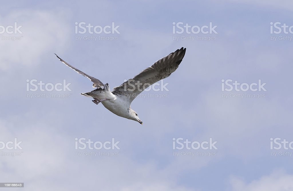 Ring-Billed Gull in Flight royalty-free stock photo