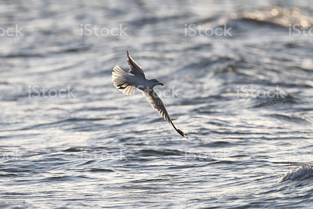 Ring-billed Gull in Flight stock photo
