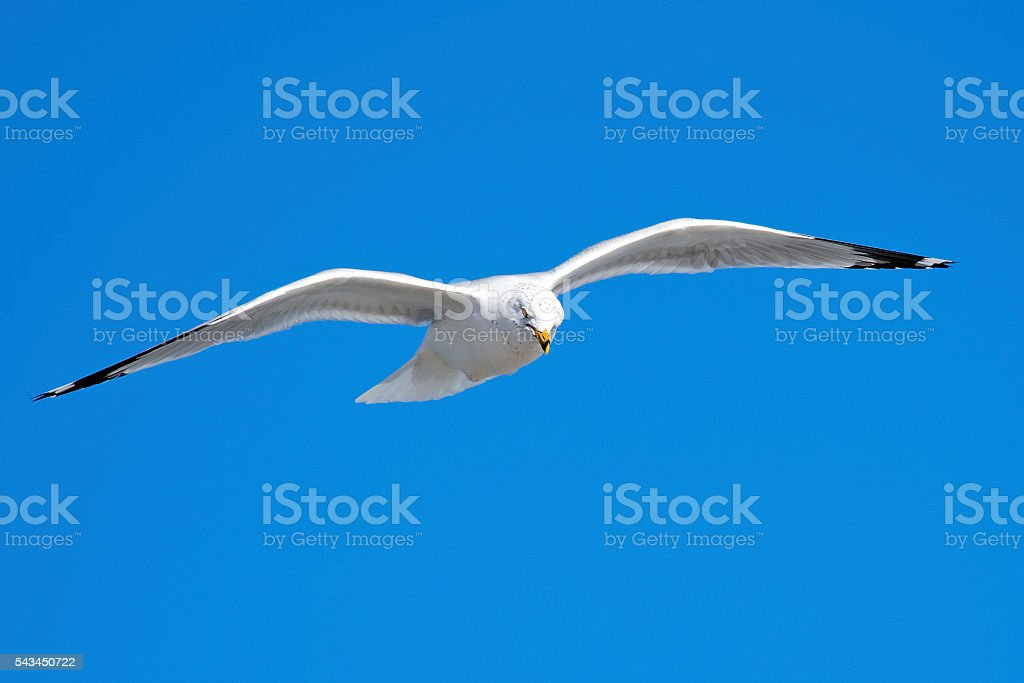 Ring-billed Gull in Flight stock photo