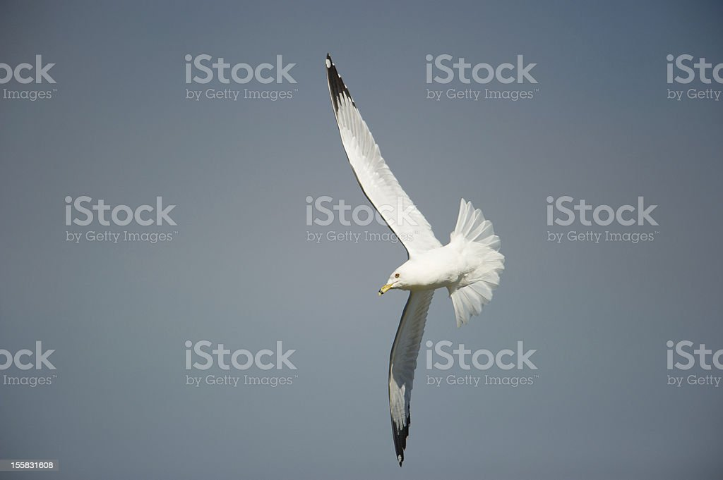 Ring-billed Gull in flight, winter, blue sky stock photo