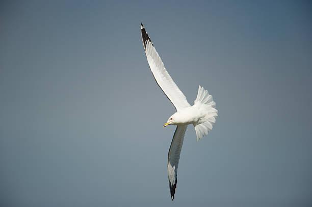 Ring-billed Gull in flight, winter, blue sky stock photo