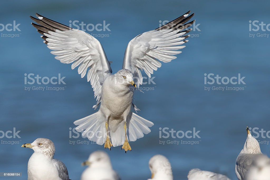 Ring-billed Gull landing on a Lake Huron Beach stock photo