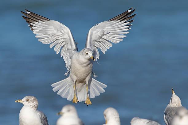 Ring-billed Gull landing on a Lake Huron Beach stock photo