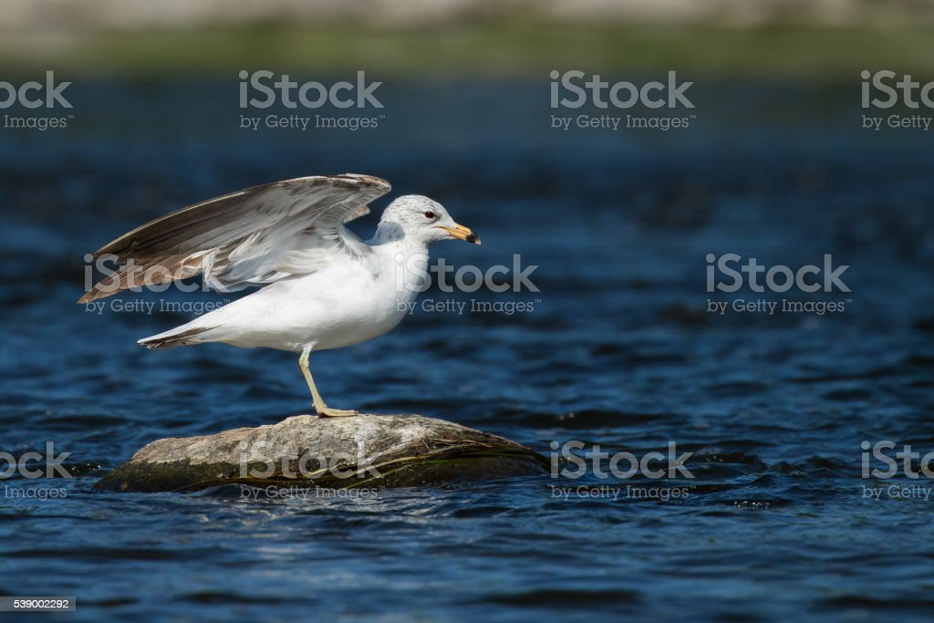 Ring-billed Gull - Larus dalawarensis stock photo