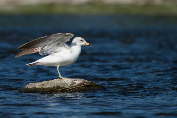 Ring-billed Gull - Larus dalawarensis stock photo