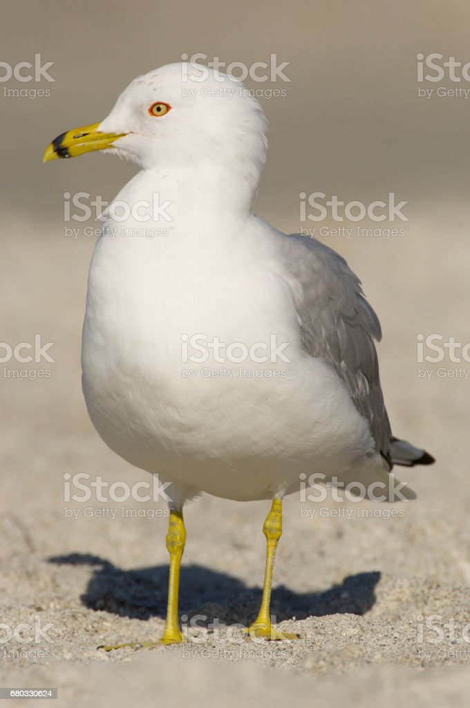 Ring-billed Gull, Larus delawarensis argentatus stock photo