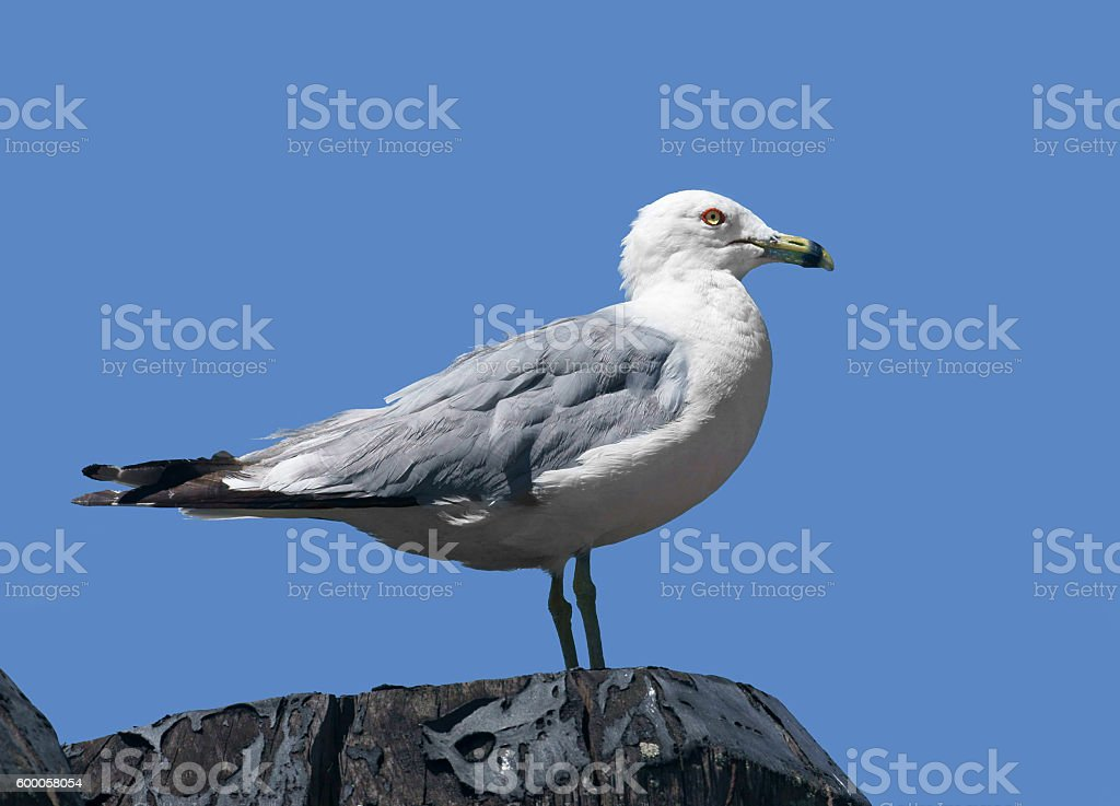 Ring-billed gull (Larus delawarensis), New York stock photo