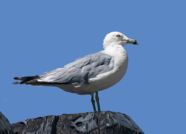 Ring-billed gull (Larus delawarensis), New York stock photo