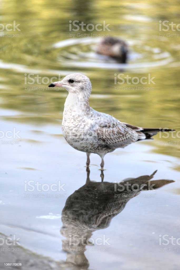 Ring-billed Gull of the Laridae Family of Seagulls stock photo