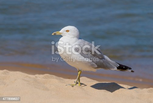 A ring-billed seagull walk on the sand near the water's edge.