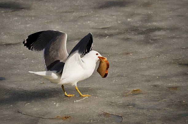 Ring-billed Gull on Healthy Diet stock photo