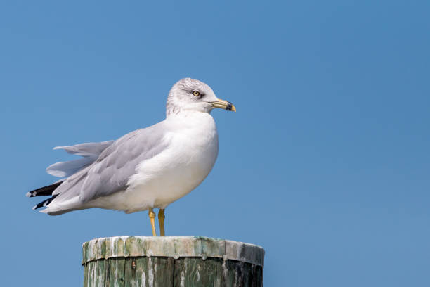 Ring-Billed Gull on Piling stock photo