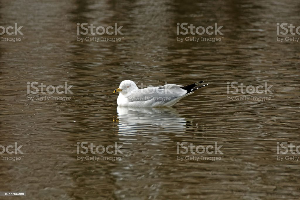 Ring-billed Gull on the Water stock photo
