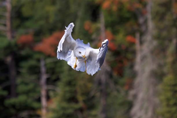Ring-billed Gull Peek-a-Boo stock photo