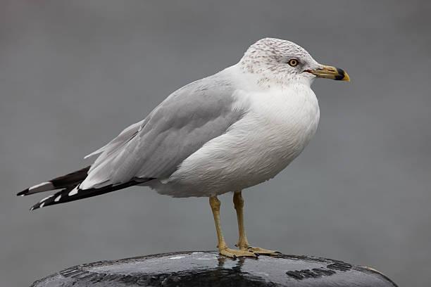 Ring-billed Gull (Larus delawarensis) stock photo