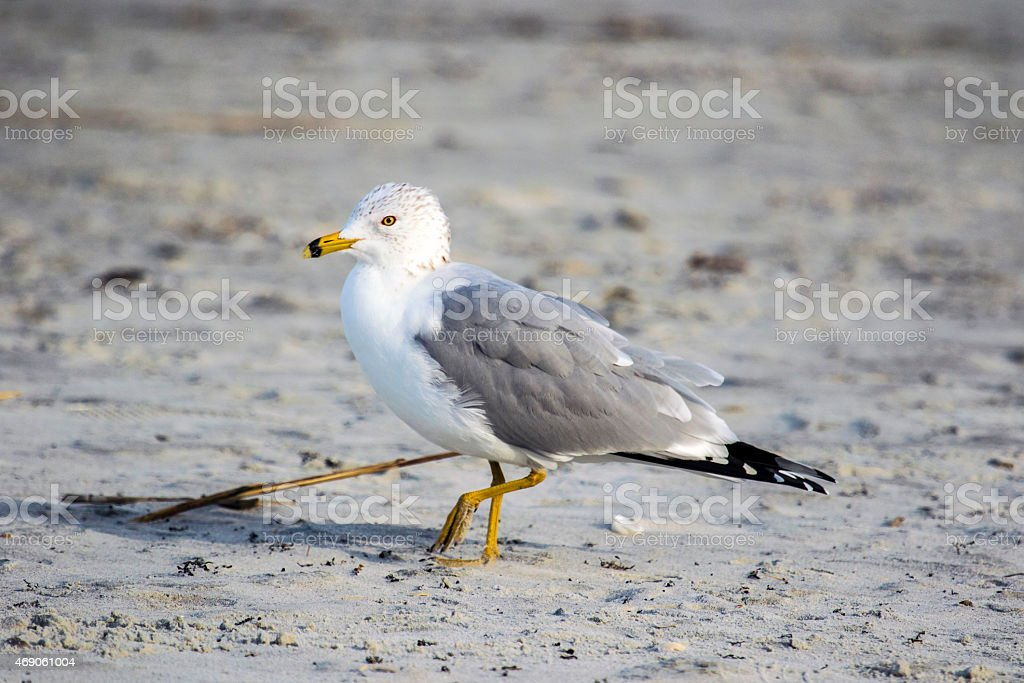 Ring-billed Gull royalty free stockfoto
