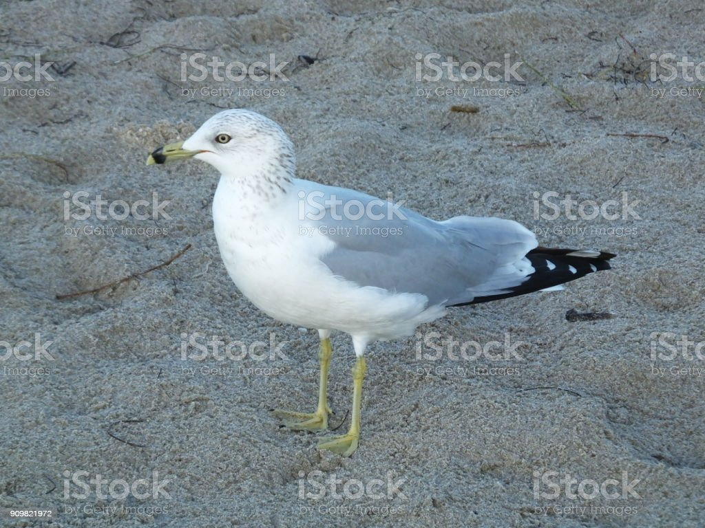 Ring-billed Gull (Larus delawarensis) stock photo