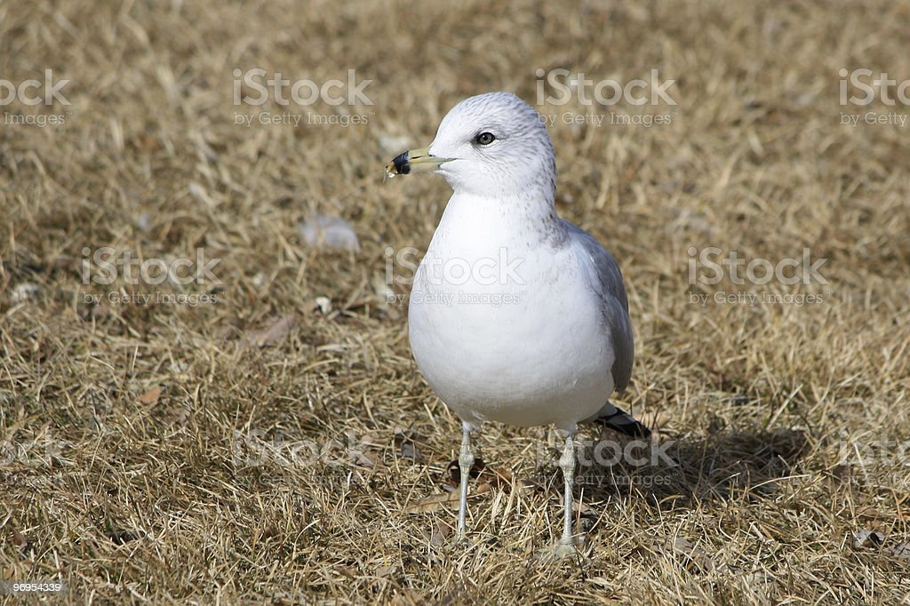 Ring-billed Gull royalty-free stock photo