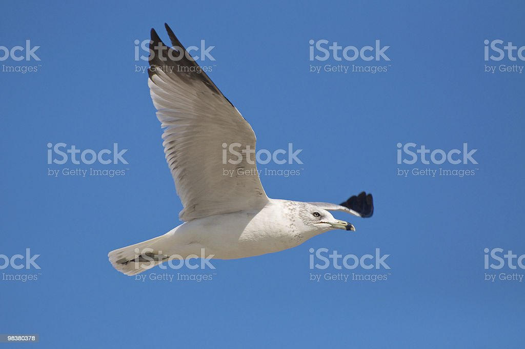 Ring-Billed Gull (Larus delawarensis) royalty-free stock photo