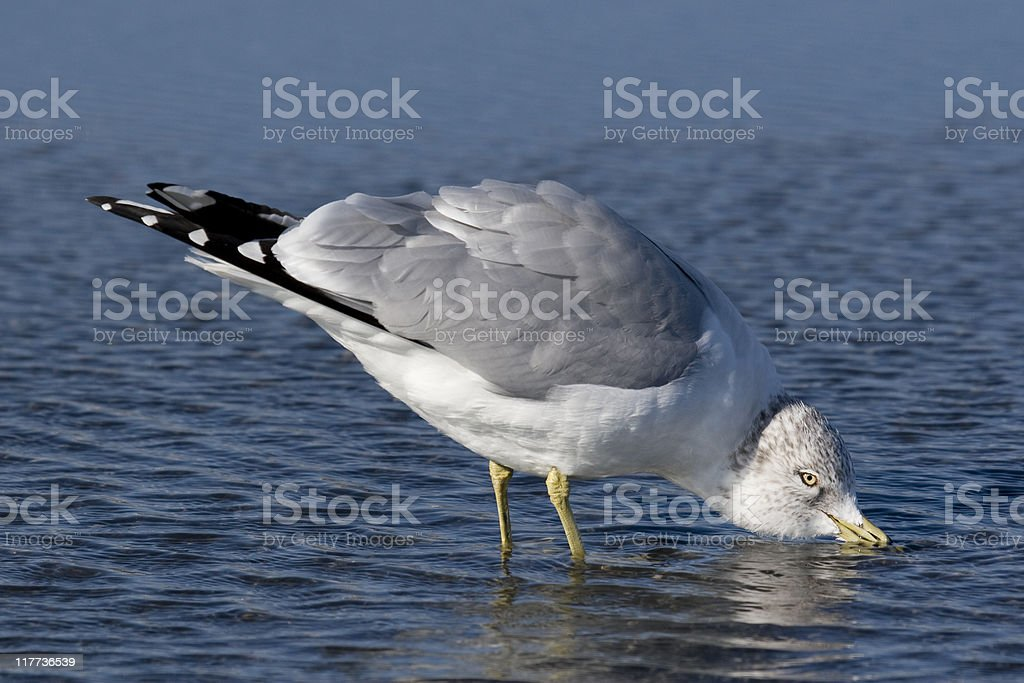 Ring-billed Gull (Larus delawarensis) Taking a Drink stock photo