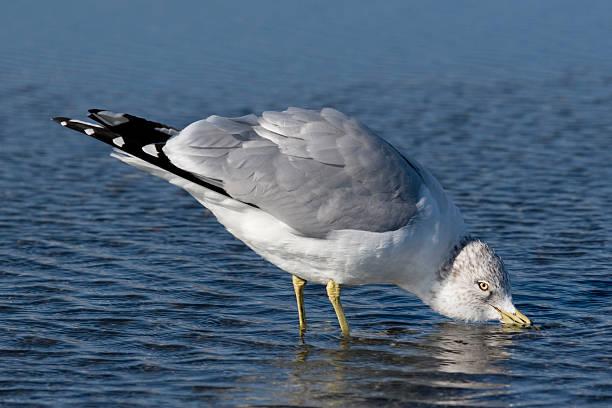 Ring-billed Gull (Larus delawarensis) Taking a Drink stock photo
