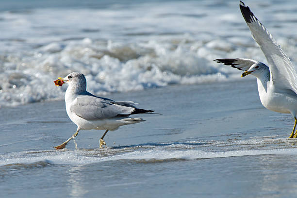 Ring-billed Gull with Apple Core on the Beach stock photo