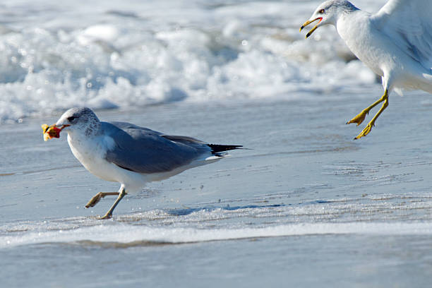 Ring-billed Gull with Apple Core stock photo