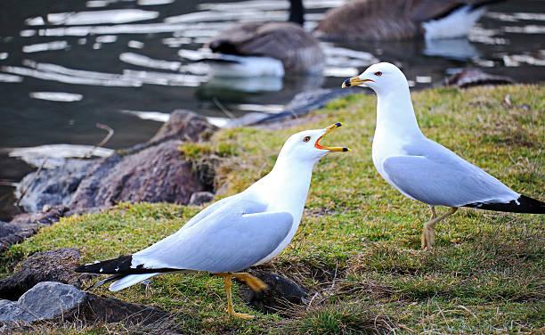 Ring-Billed Gulls stock photo