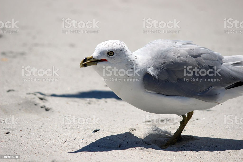 Ring-billed Seagull Close Up on Beach stock photo