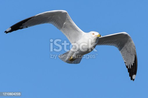 Ring-billed seagull flying with a clear blue sky.