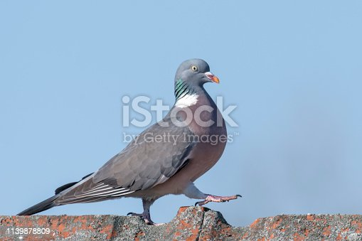 Ringdove walks over a roof ridge in front of a blue sky