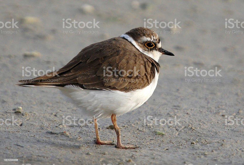 Ringed Plover (Charadrius hiaticula) Bird stock photo