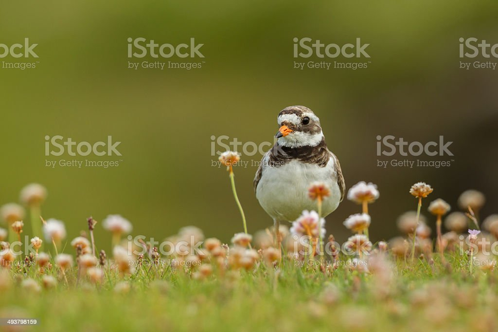 Ringed plover (Charadrius hiaticula) in thrift royalty-free stock photo