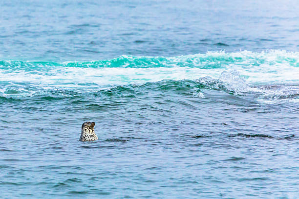 Ringed Seal Looking for Fish Ringed Seals in Kamchatka: dark spots face stock pictures, royalty-free photos & images