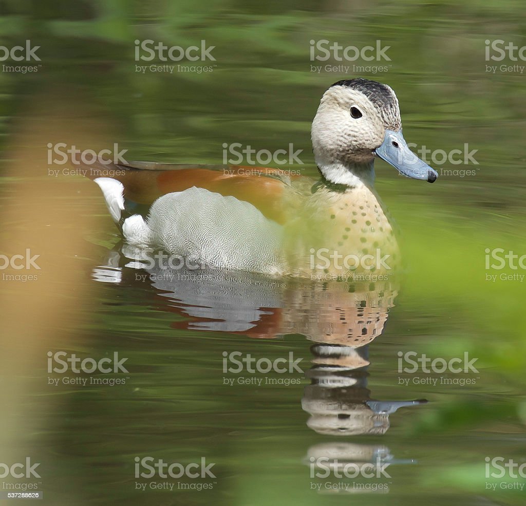 Ringed Teal Duck stock photo