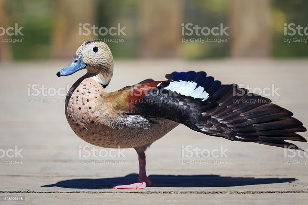 Ringed Teal stock photo