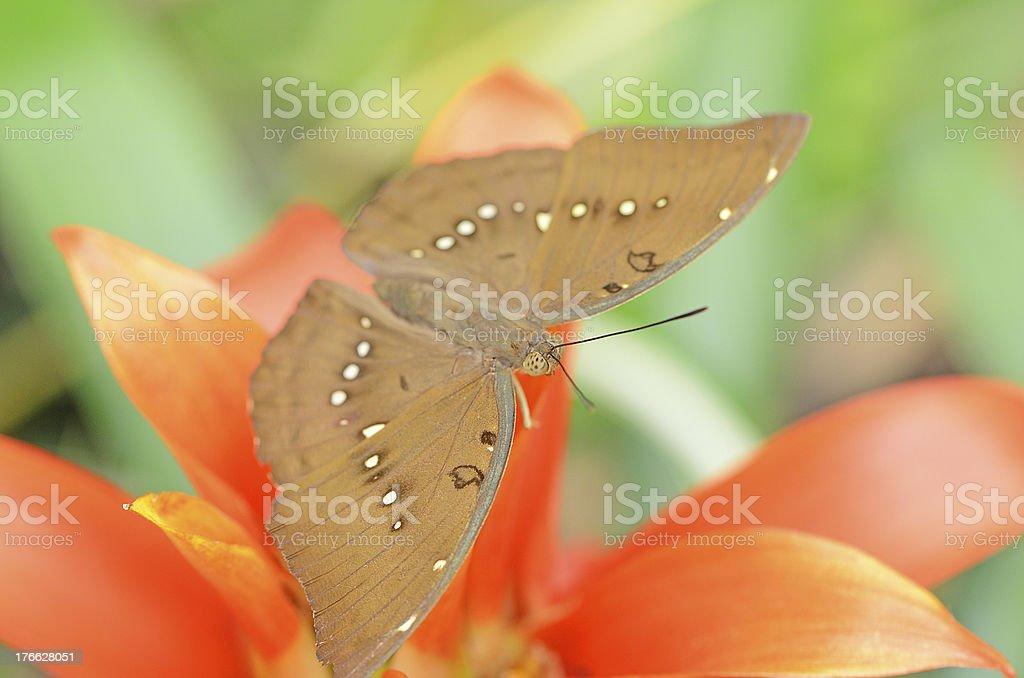 Ringlet butterfly on orange flower royalty-free stock photo