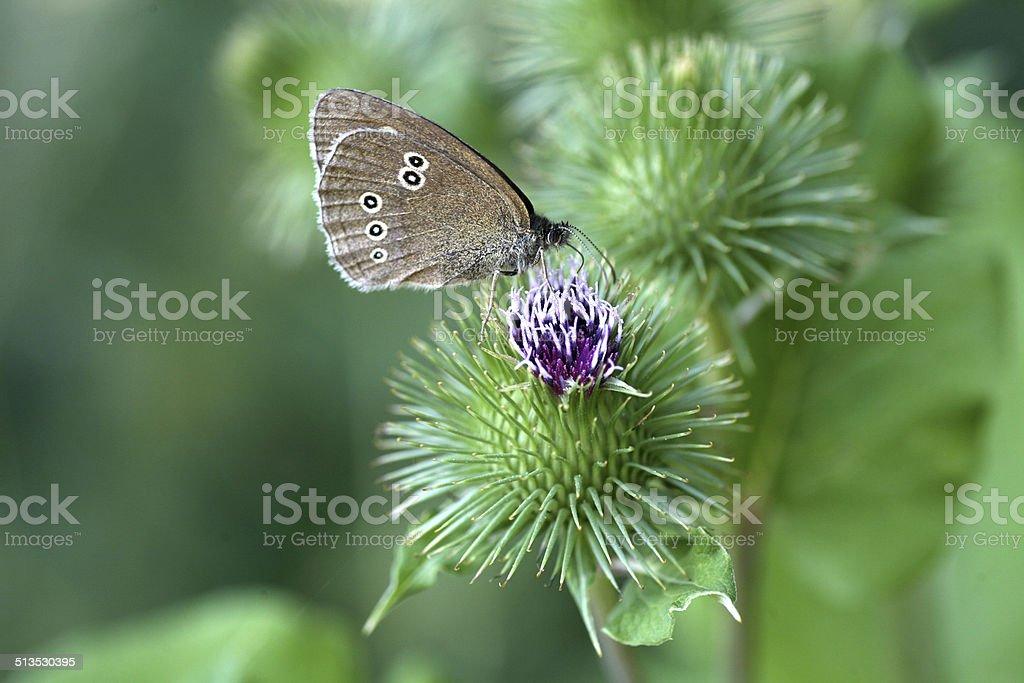 Ringlet (butterfly) stock photo