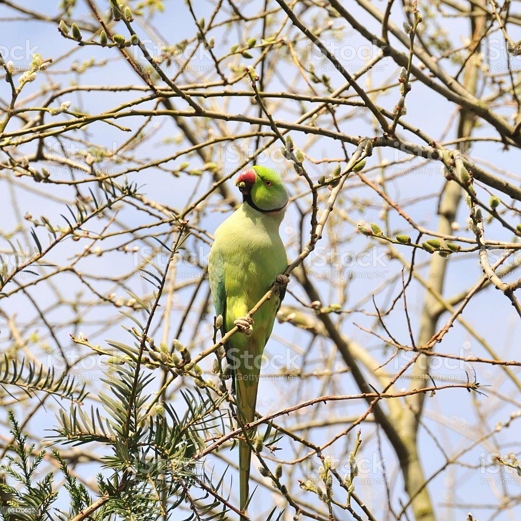 Ring-neck parakeet royalty-free stock photo
