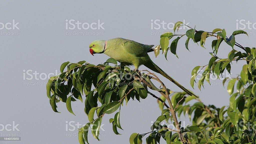 Ringnecked Parakeet royalty-free stock photo