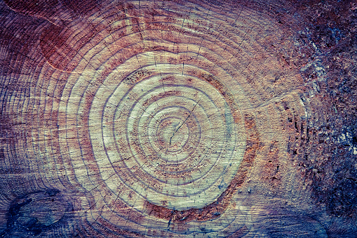 Rings of a redwood tree in California