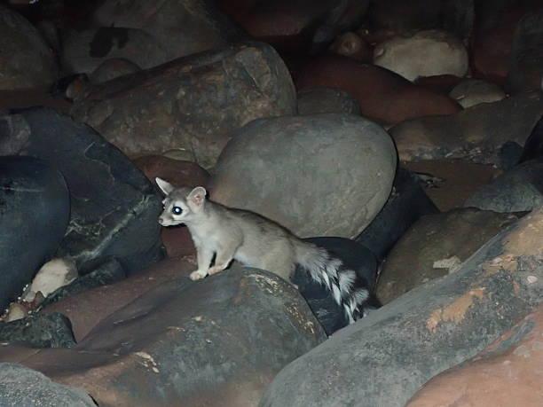 ringtail cat parque nacional del gran cañón, arizona de vida silvestre - gato civeta fotografías e imágenes de stock