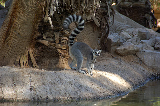 lémur ringtail - gato civeta fotografías e imágenes de stock
