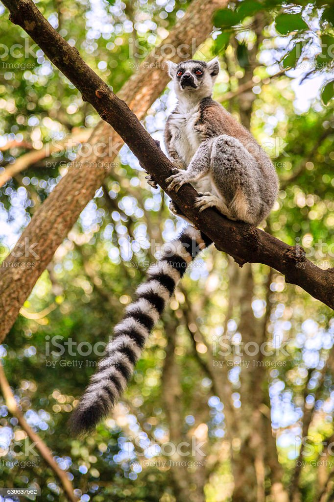 Ringtail Lemur stock photo