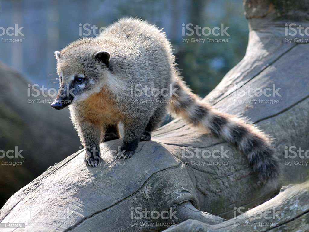 Ring-tailed Coati on branch stock photo