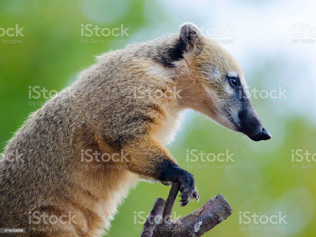 Ring-Tailed Coati royalty-free stock photo