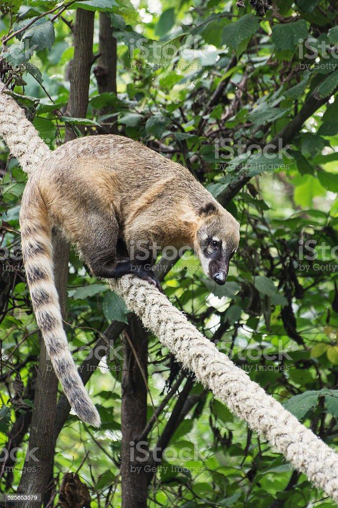 Ring-tailed coati (Nasua nasua) stock photo